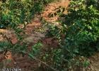 张黄罗家修路雨天黄泥浆流入农田,导致果树在慢慢损坏