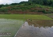 福旺镇各地农民冒着酷暑抢种晚稻,呈现一幅幅山水农耕画卷