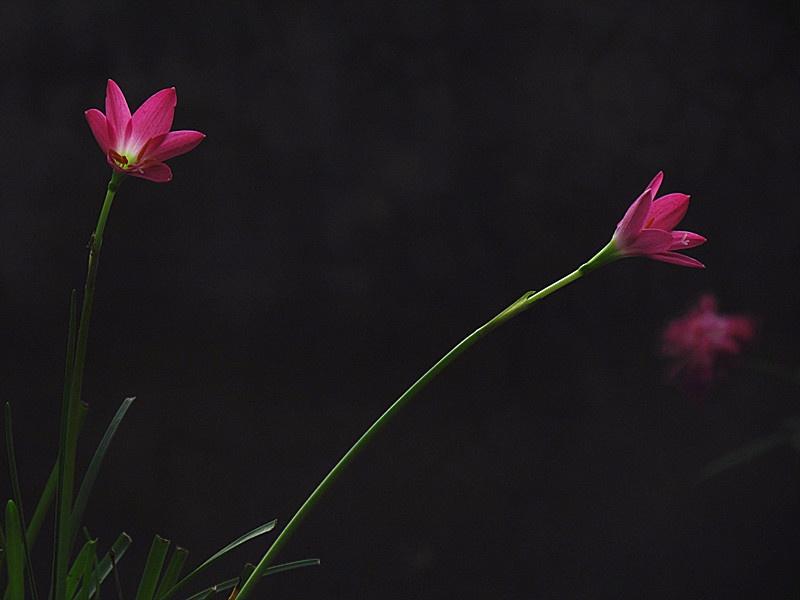 里的珍品花卉 风雨兰